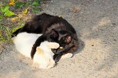 Black And White Cats Bask In The Sun. Feline Yin And Yang. poster