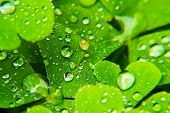 Rain Drops On Green Leaf Nature Background. Nature Background Of Green Leaves. Clover Leaves Nature  poster