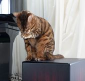 Beautiful Bengal Cat Cleaning Herself Sitting By The Piano poster