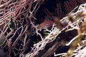 stock photo of hawkfish  - Longnose hawk fish in the Red Sea - JPG