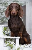 dachshunds  dog portrait , against the background of flowering branches of cherry poster