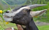 Portrait Of A Pretty Broown Goat With Snout In Flowers poster