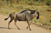 stock photo of wildebeest  - The wildebeest  - JPG