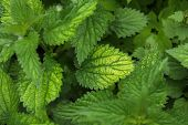 Urtica Dioica, Common Nettle In Springtime, Alternative Medicine, Healthy Herb poster