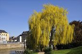 Weeping willow on riverside at Le Mans