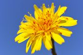 Genus dandelion with red acarids
