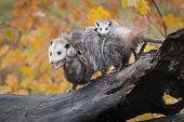 Opossum (didelphimorphia) Mouth Open With Joeys Autumn - Captive Animals poster