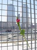 Flower Hope At Ground Zero
