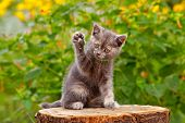 Gray Cute Kitten Pointing Up One Paw. Funny Pretty Kitten Sitting & Voting In Election By Raicing Up poster