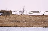 picture of honkers  - Pair of nesting Canadian Geese  - JPG