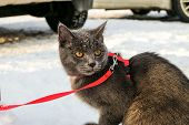 Young British Blue Shorthair Cat In Leash On A Winter City Walk. Gray Cat On The Among The Snow. poster