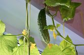 Fresh Ripe Green Cucumber Grown At Home In The Room Near The Window, Hanging On The Stem. Cucumber S poster
