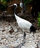 Red-crowned Crane Or Japanese Crane