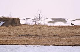 foto of honkers  - Pair of nesting Canadian Geese  - JPG