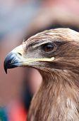 Head Of An Alert Eagle, Closeup Portrait