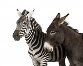 A Zebra And A Donkey