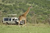 Girafe In The Serengeti Passing In Front Of Tourist poster
