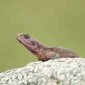 Flat-Headed Rock Agama (Agama Mwanzae) In The Serengeti National Park, Tanzania