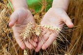 Espigas de trigo en las manos del niño