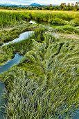 Marsh Grass In Summer At Spencer Island Wetlands