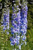 Bright blue delphinium flower (Delphinium) in a garden