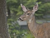 foto of blacktail  - Female, blacktail deer posing in wooded area.