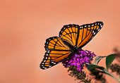 stock photo of butterfly-bush  - Viceroy butterfly  - JPG