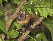 picture of titi monkey  - titi monkey - JPG