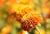 Beautiful Orange Chrysanthemum Flowers & Bokeh In The Background. This Pretty Blossom Is Also Known poster