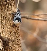 White-breasted Nuthatch On A Tree