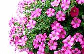Pink Petunia Flowers