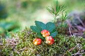 Cloudberry Closeup In Summer. Fresh Wild Fruit.