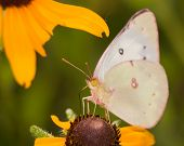 Clouded Sulphur butterfly feeding on a Black-Eyed Susan flower