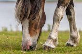 Spotty horse grazing