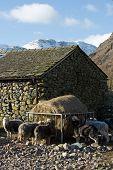 Sheep Feeding From Manger