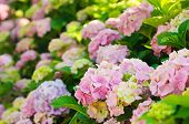 stock photo of hydrangea  - Many colorful hydrangea flowers growing in the garden - JPG