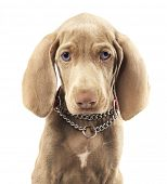 Cute young Weimaraner dog on pure white background