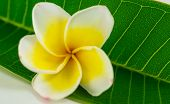 image of champa  - closeup of white and yellow pagoda flower