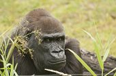 pic of gorilla  - It is image of gorilla in zoo - JPG