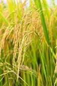rice field, focus on the rice straws