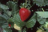 Single Strawberry On Plant