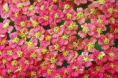 Pink Yellow Yarrow Achillea Flower