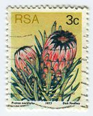RSA - CIRCA 1977: A stamp printed in RSA shows image of the Protea neriifolia, circa 1977.