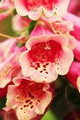 Pink foxglove flower