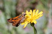 Woodland Skipper on a Yellow Flower