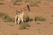 picture of jackal  - One Black backed jackal play with large feather in a dry desert having fun
