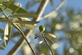 Olive Tree 03