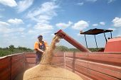 foto of auger  - Wheat harvest farmer and grain auger of combine pouring crop - JPG