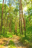 stock photo of coniferous forest  - Spring forest in a sunny spring day - JPG