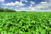 picture of soybeans  - Soybean field and cloudy blue sky in the spring - JPG